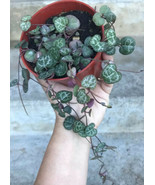 "Live Rooted - CEROPEGIA WOODII - STRING OF HEARTS - ROSARY VINE 4"" Pot Full - $18.53"