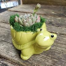 "Echeveria in Turtle Planter, Live Succulent, 5"" Green Ceramic Tortoise Pot image 6"