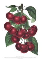 Seed Catalog: Montmorency - Seneca Seed Catalog - 1893 - $12.95+