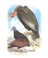 California Condor, Turkey Buzzard, and Carrion ... - $9.99