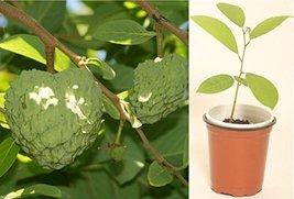 1 Seedling Rooted Plant of Cherimoya Annona Cherimola Extra Large Fruits - $43.56