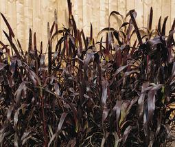 Purple Millet Seeds | Millet Seeds | Pennisetum glaucum Seeds | 5 seeds - $12.78