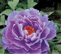 5 Seeds Rare Heirloom Huge Purple Ruffled Satin-Like Tree Peony Flower S... - $1.85
