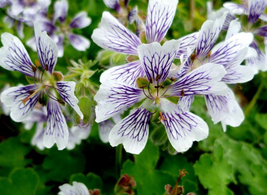 5pcs Very Unique White Purple Lobed And Finely Wrinkled Geranium IMA1 - $13.99