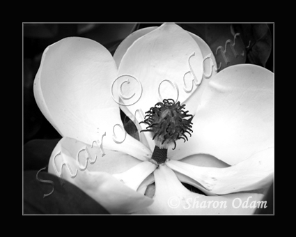 Magnolia Dreams ~ DF0069BW ~ Fine Art Photography