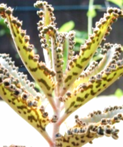 Mother of Thousands Kalanchoe Daigremontiana Live plant - $15.00