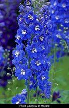 Blue Bird Delphinium Larkspur Delphinium cultorum 20 Seeds GTL09 - $24.17