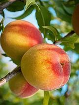 1 Plant - Bell of Georgia Peach Tree - Semi Dwarf - Bare Root - tkrowers - $56.42
