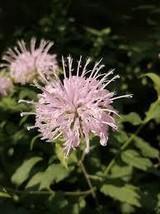 50 Mg Seeds - Organic Wild Bergamot Seeds - Perennial HH01 - $11.99