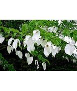 10 Seed, Hardy Dove Tree, Handkerchief or Ghost Tree, - $49.50