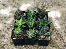"""Assorted Rooted Premium Aloe and Haworthia Succulents in 2"""" Planter Pots with image 4"""