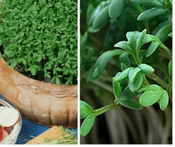 Outdoor Living – Gardening - 2,000+ Fresh Peppercress Seeds - SBF - $21.95