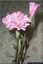 Carnation thumb200