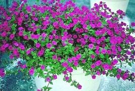 "2000+""SHANIN"" WILD PETUNIA Seeds Wildflower Garden Containers Hanging Ba... - $2.50"