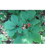 250+AMERICAN GINSENG SEEDS-TREATED-STRATIFIED-PLANT NOW 2018 PLANTING FA... - $23.77