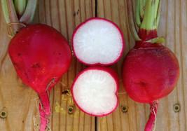 Crimson Giant Radish Seeds - NON-GMO 200 Seeds - $11.19