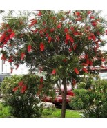 Crimson Bottlebrush Tree Seeds (Callistemon Citrinus) 30+Seeds - $21.98
