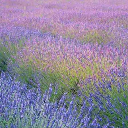 Lavender field gal