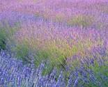 Lavender field gal thumb155 crop