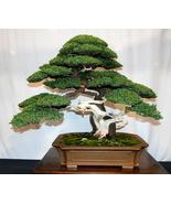 88/bag juniper bonsai tree potted flowers office bonsai purify the air a... - $3.99