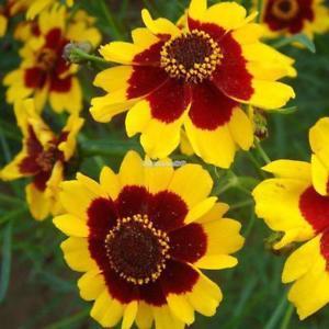50 teile / beutel Creeping Zinnia Samen Bonsai Blume Sanvitalia ElR8