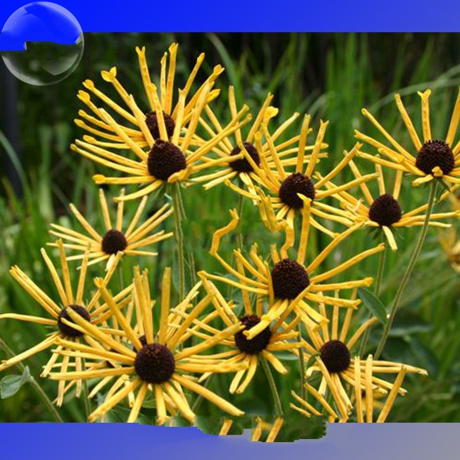 100 Seed Paradoxa Yellow Spider Echinacea And Similar Items