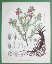 PERUVIAN RHATANY Flower Medicinal Krameria Triandra - 1860 Color Botanic... - $26.96