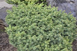 7 Year PLANT of Picea Pungens Mrs. Cesarini - $356.40
