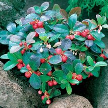 """Cherry Berries Wintergreen Plant - Gaultheria -Teaberry- Aromatic Leaves-2.5"""" - $35.99"""