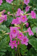 10 Pcs Seeds Rose Hardy Gloxinia - Incarvillea – Perennial HH01 - $15.99