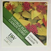 Double Play Candy Corn Spirea image 3