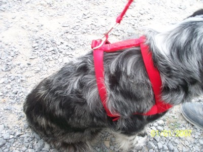 Medium RED  H Style Harness and Leash Set Heavy Duty