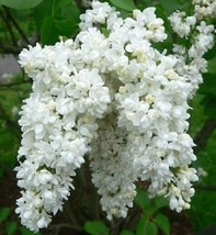 50 White Lilac Seeds Tree Fragrant Hardy Perennial Flower Shrub Flowers ... - $29.95