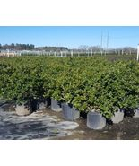 Carissa Holly Big Healthy 3 Gal. Shrub Plant Large Landscape Plants Hedg... - $142.49