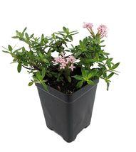 "2.5"" Pot - Miniature Trumpet Flower - Putatoria calibrica - Fairy Garden... - $47.99"