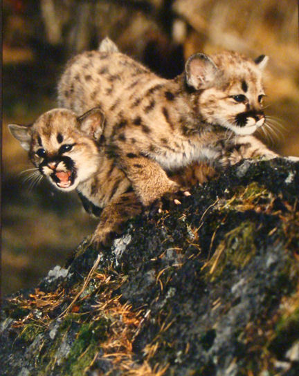 Cougar Kittens Montana