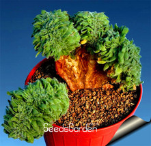 Sale!10 Seed/pack Ball cactus seeds rare succulent plant seeds Bonsai Ce... - $3.99
