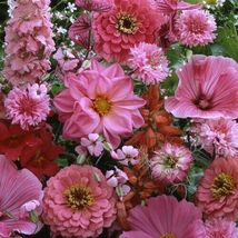 SHIP From US Wildflower Pink Shades Flower Seeds (Mix) 1600+ Seeds UTS2 - $120.99