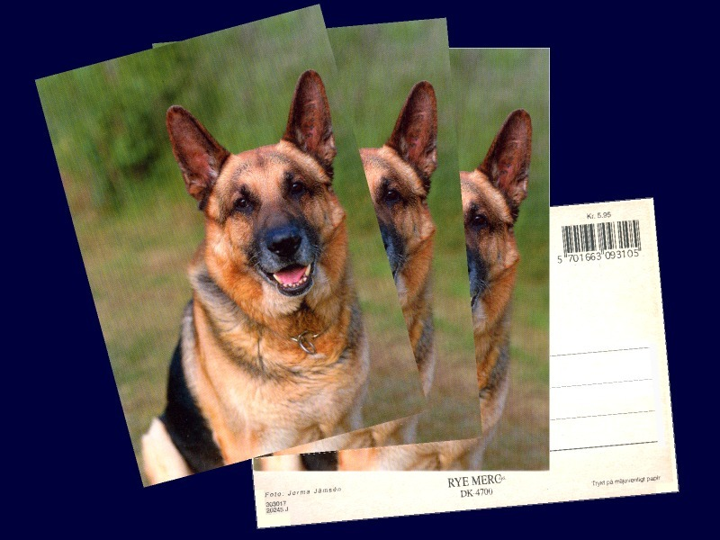 4 pcs. Alsatian, German Shepherd Dog , Postcard Printed in Denmark in the 1980s