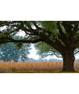 Old Growth Oak (12x18) - $24.99