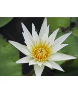 100 Nymphaea Ampla WHITE Dotleaf WATER LILY SEEDS Lotus - $4.72