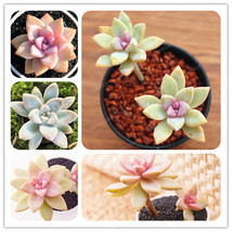 100 PCS/Pack Conophytum Altum Seeds Succulent Cactus Seeds Potted Flower - $4.76