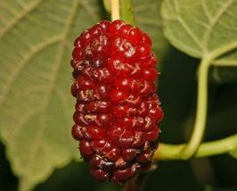 50 Red Mulberry Tree Seeds, Morus Rubra - $15.00