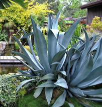 AGAVE SALMIANA, rare succulent pulque century plant exotic garden seed 5... - $9.99