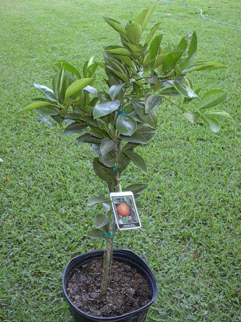 Washington Navel Orange Citrus Tree Live 3 gal.