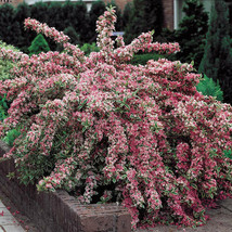 Variegated Weigela image 1