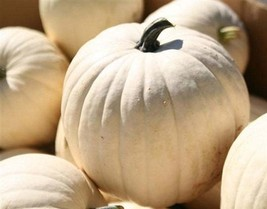 Pumpkin Seeds - Lumina (Treated) - Vegetable - Outdoor Living - Free Shippng - $43.99+