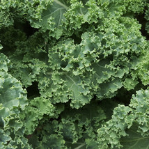 KALE 25 Fresh vegetable seed ready to plant in your garden - $1.99