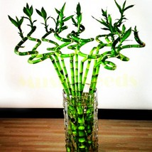 1Bag=10pcs hot sale CHINESE rare BAMBOO seeds LUCKY BAMBOO seeds child g... - $8.26