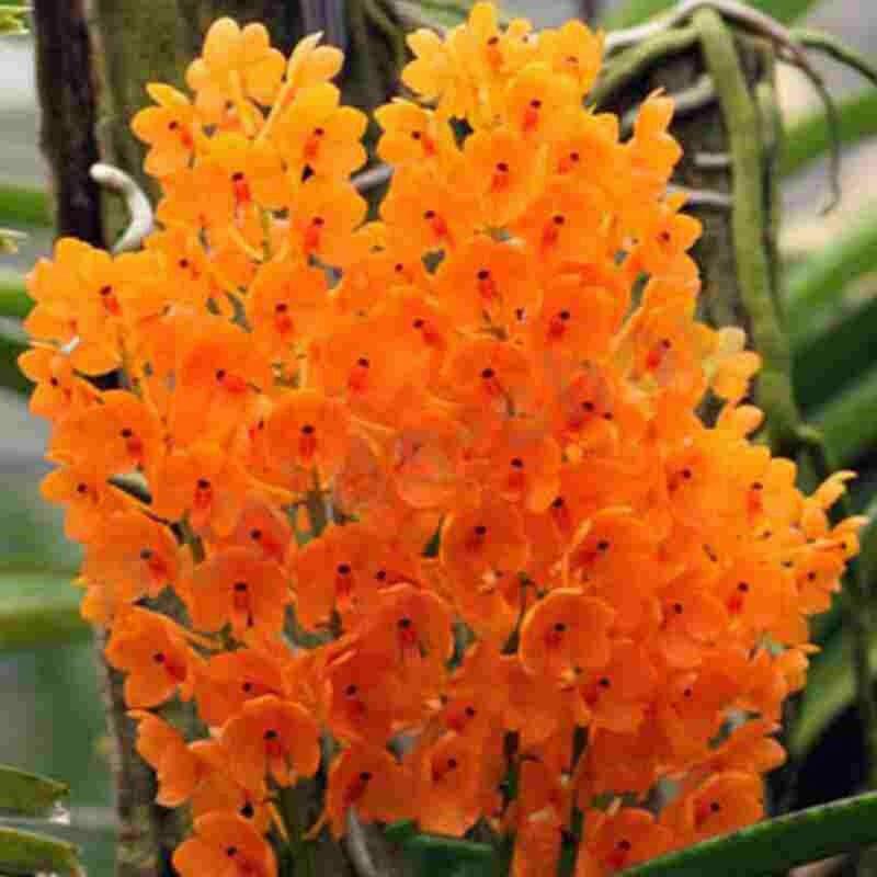 Ascocentrum miniatum Orchid Blooming Size FIVE PLANT CLUMP!!! SPECIES 0130